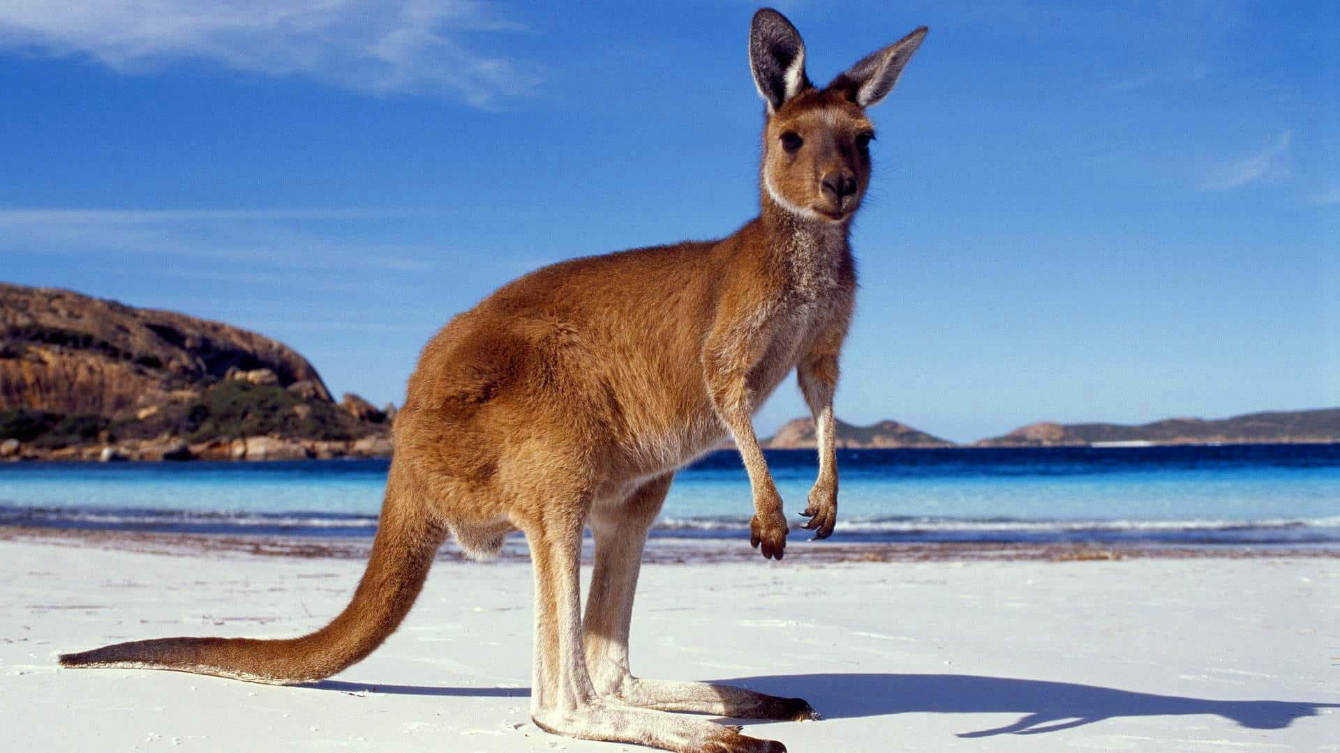 998d5abd Kangaroo Facts, Worksheets, Habitat, Species & Diet For Kids