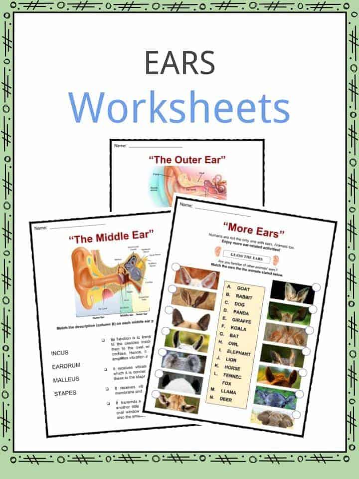 Ear Facts Worksheets Information For Kids – Ear Worksheet