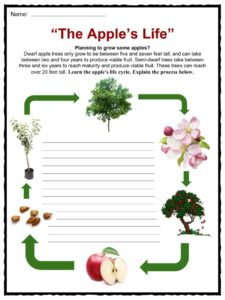 apple facts worksheets health benefits information for kids  fruit from the apple tree it is in the species malus domestica in the rose family rosaceae the apple is one of the most grown tree fruits
