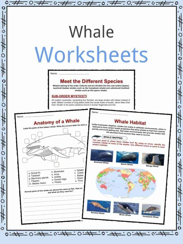 whale facts  worksheets  species  diet  u0026 information for kids