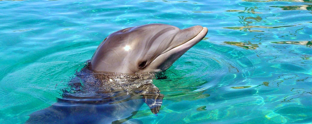 Dolphin facts and information