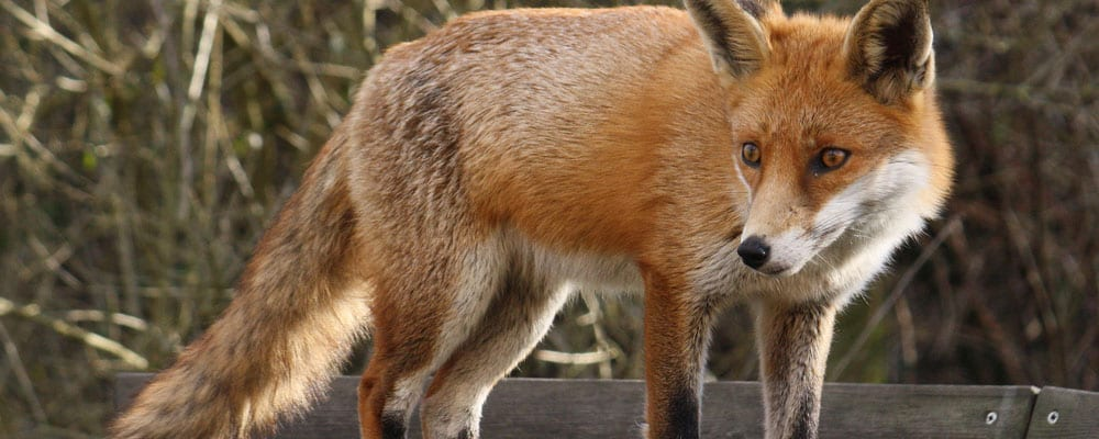 Fox Facts, Habitat Information & Worksheets For Kids