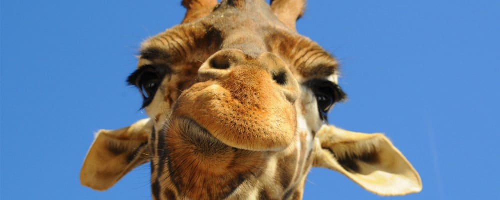 Giraffe facts and information