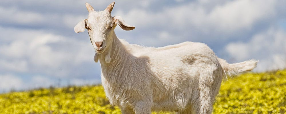Goat facts and information