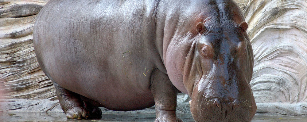 Hippopotamus facts and information