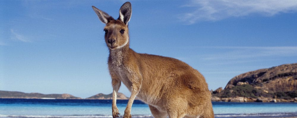 Kangaroo Facts and Information for Kids • KidsKonnect
