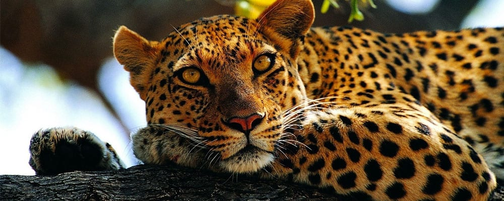 Leopard facts and information