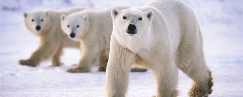 Polar Bear Facts and Information for Kids • KidsKonnect
