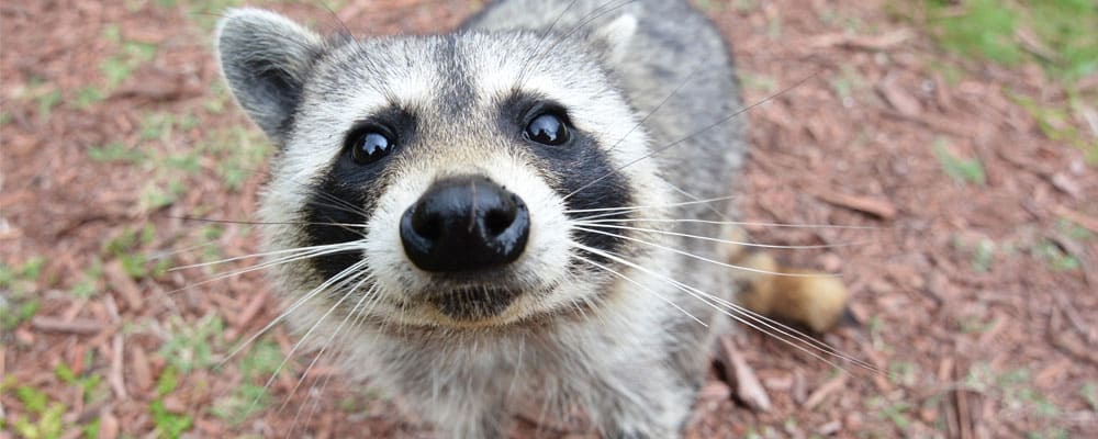 Raccoon facts and information