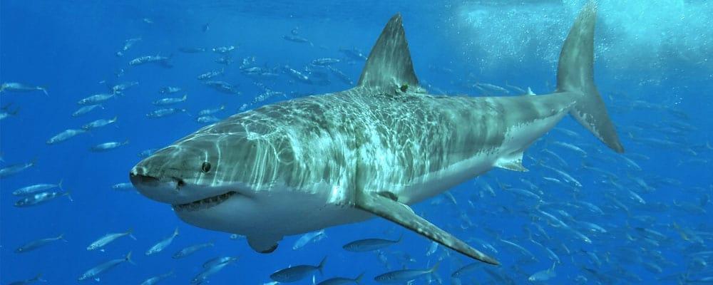 Shark Facts | KidsKonnect