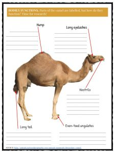 Camel Facts, Information & Worksheets For Kids | Teaching Resources
