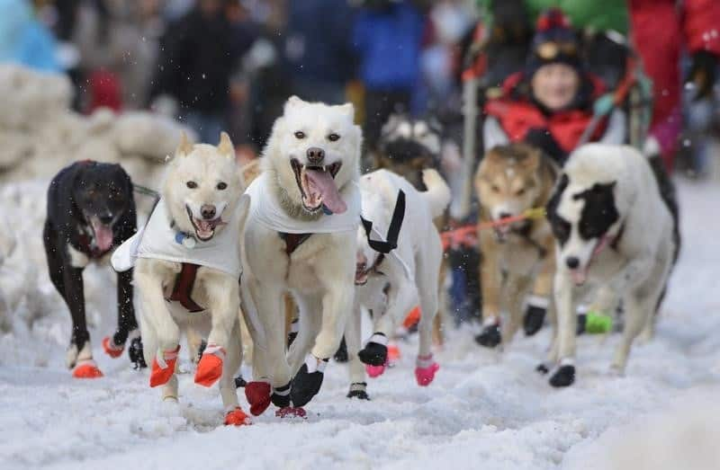 Iditarod Race Facts