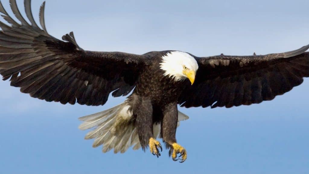Eagle (Bird) Facts