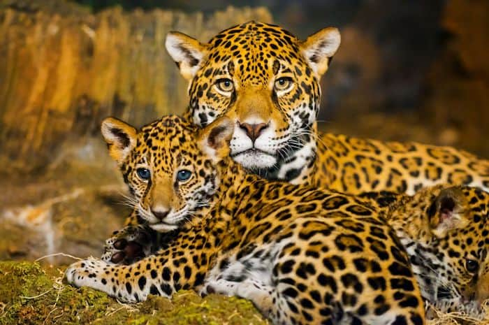 Jaguar Cats Facts