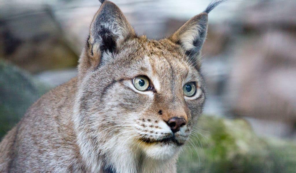Lynx Animal Facts