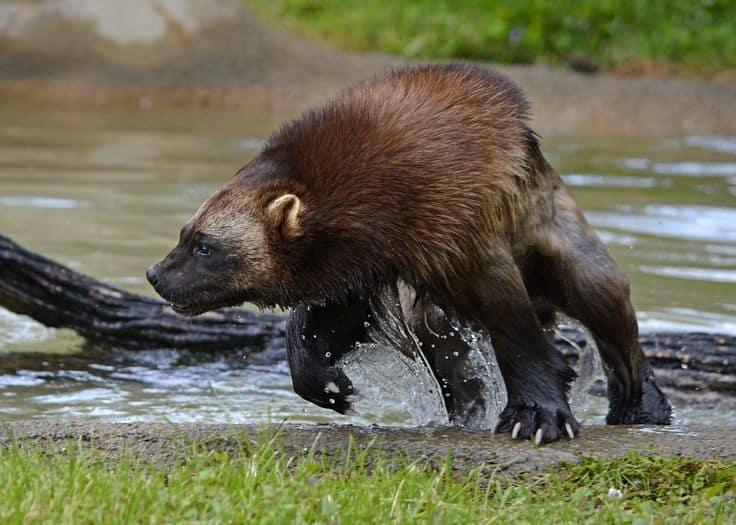 Wolverine Animal Facts