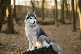 siberian-husky-facts