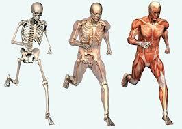 skeletal-system-facts