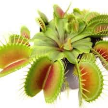 venus-flytrap-facts