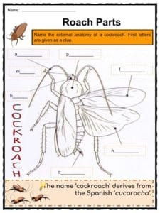 Cockroach Facts, Worksheets, Species, Habitat & Diet For Kids