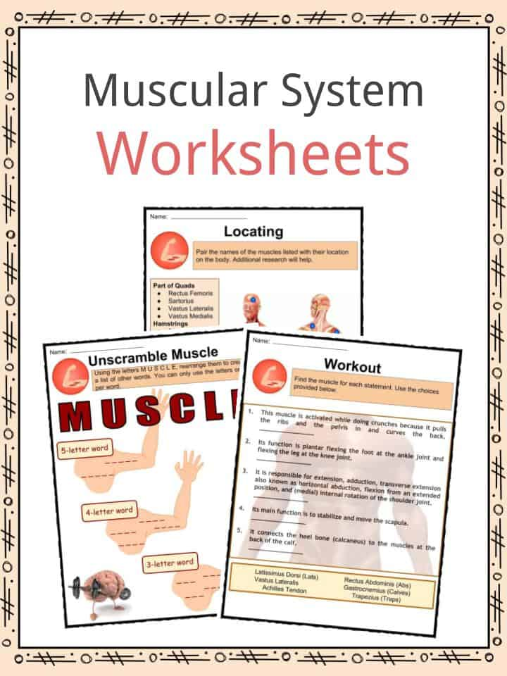 Muscular System Facts, Worksheets, Types & Importance For Kids
