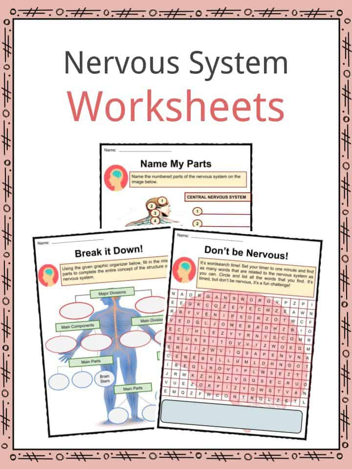 Nervous System Facts, Worksheets, Parts & Divisions For Kids