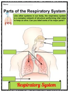 Respiratory System Facts, Worksheets, Parts & FunctionsFor Kids