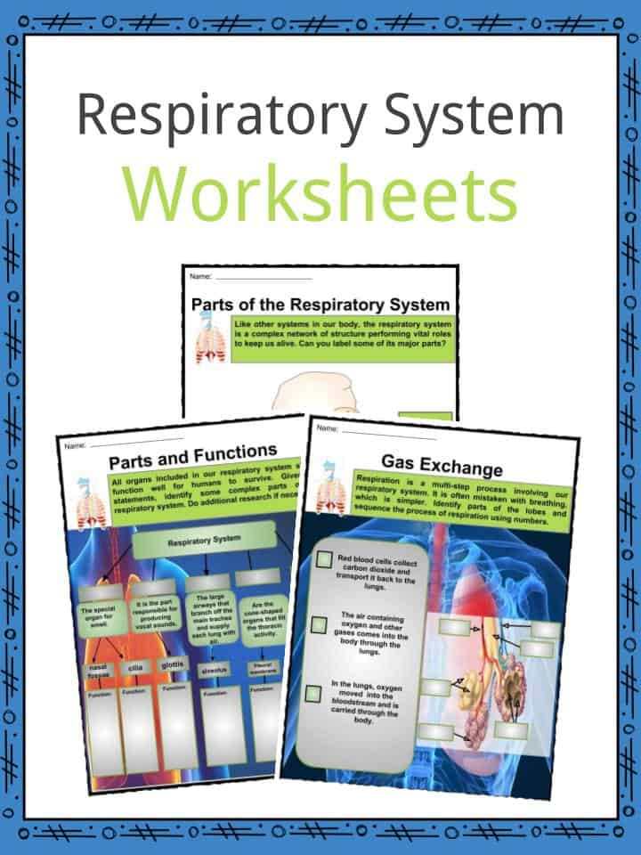 Respiratory System Facts, Worksheets, Parts & Functions For Kids