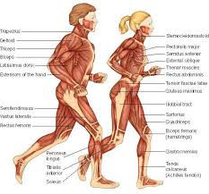 muscular-system-facts