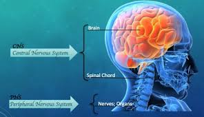nervous-system-facts