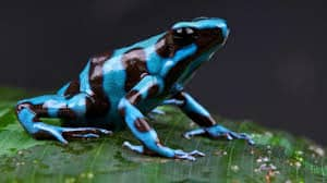 poison-dart-frog-facts