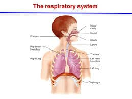 respiratory-system-facts