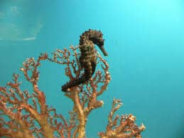 seahorse-facts