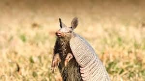 armadillo-facts