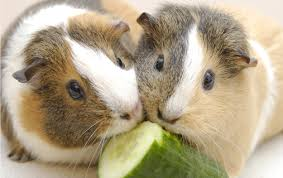 guinea-pigs-facts