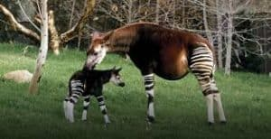 okapi-facts