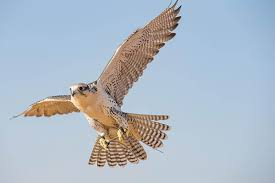peregrine-falcon-facts