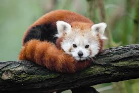 red-panda-facts