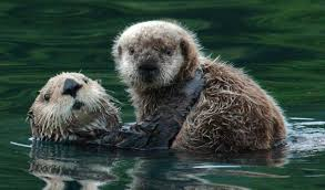 sea-otter-facts