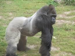 silverback-gorilla-facts