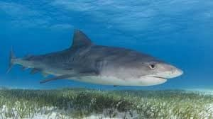 tiger-shark-facts