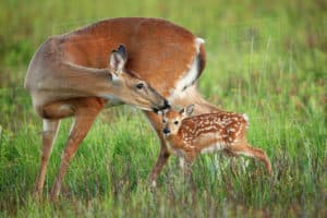 white-tailed-deer-facts