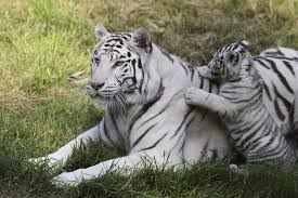 white-tigers-facts