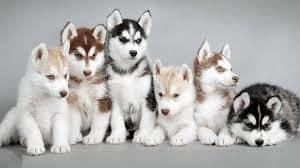 huskies-facts