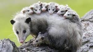 possum-facts