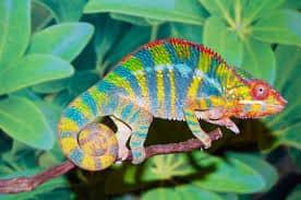 chameleon-facts