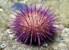 sea-urchin-facts