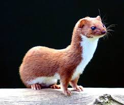 weasel-facts