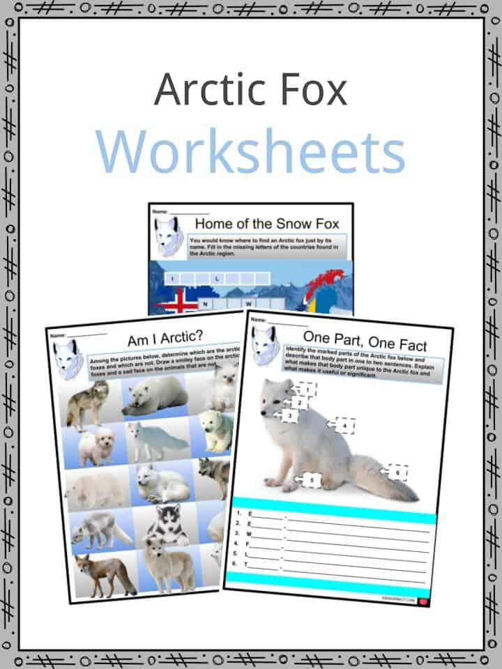 arctic fox facts  worksheets  habitat  characteristics
