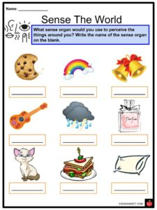Sense Organs Facts, Worksheets & Five Senses For Kids